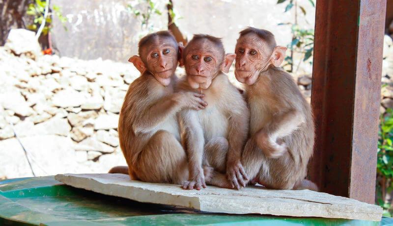 domesticated monkey pets