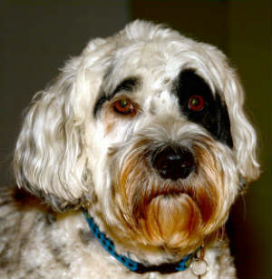 How Much Does a Portuguese Water Dog Cost?