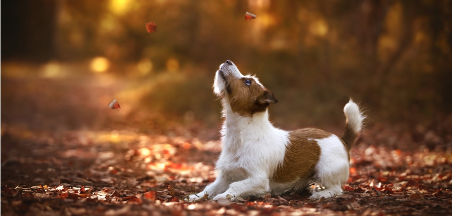 Jack Russell Terrier breed dog in autumn forest