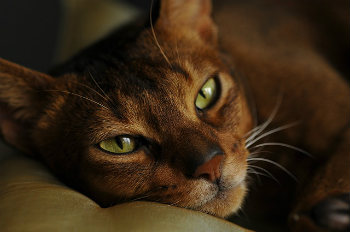 How Much Does an Abyssinian Cat Cost?
