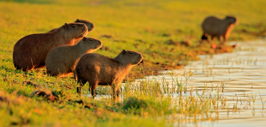 family of young capybara