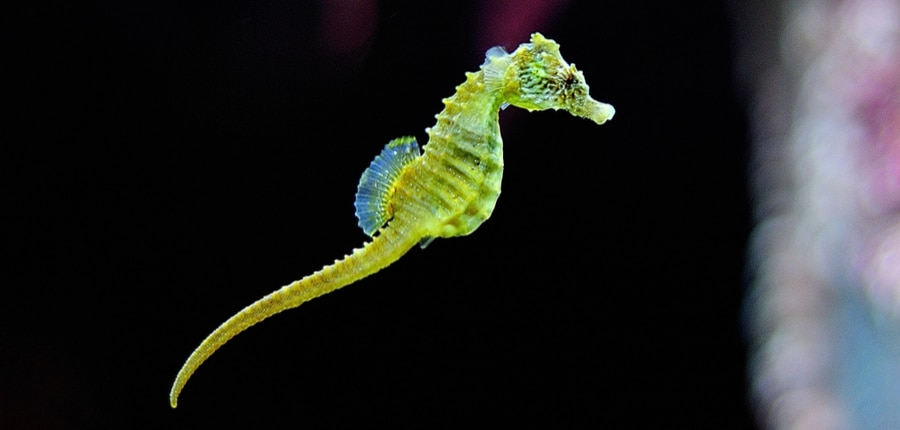 green seahorse swimming