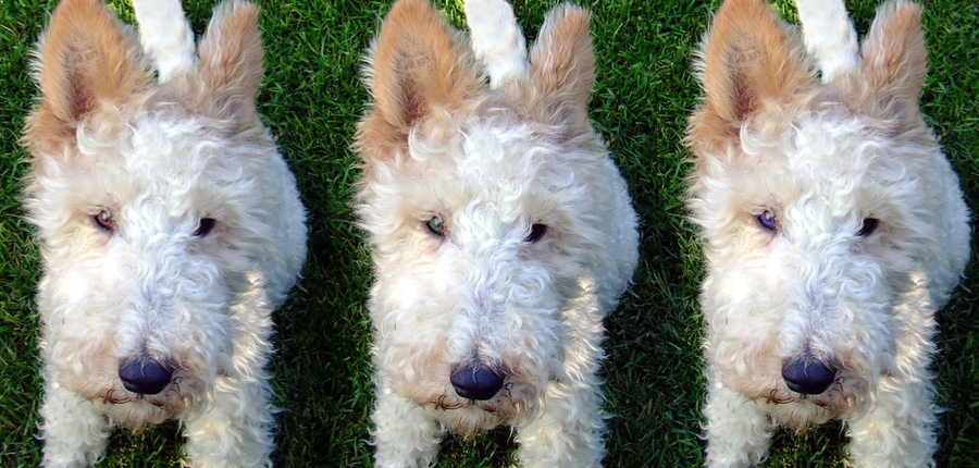 How Much Does Dog Cloning Cost?