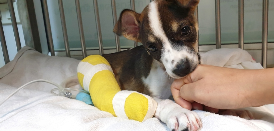 How Much Does Limb Amputation in Dogs Cost?