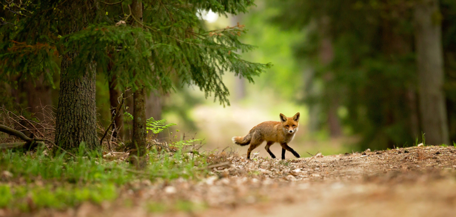 domesticated fox in forest